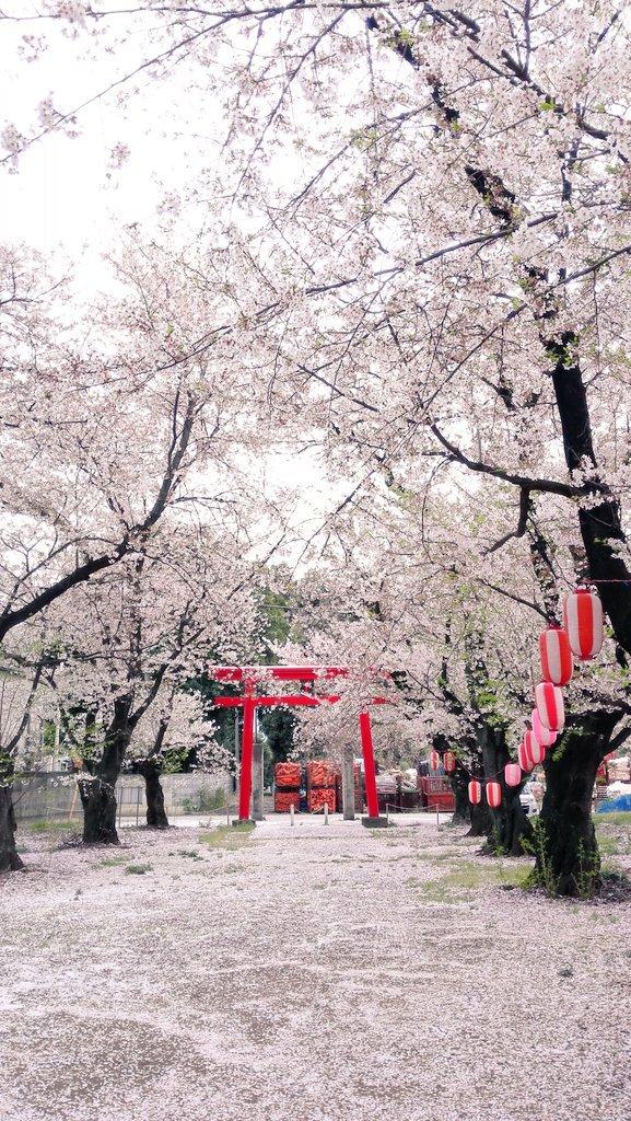 Cherry Blossom Season In Japan 4