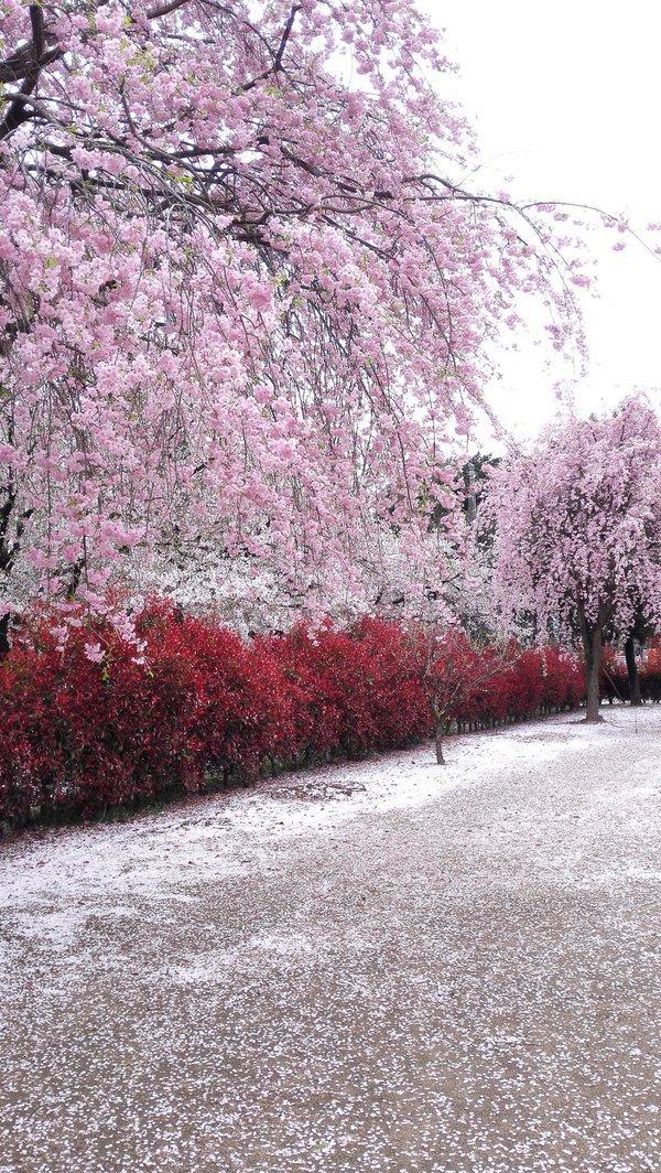 Cherry Blossom Season In Japan 5