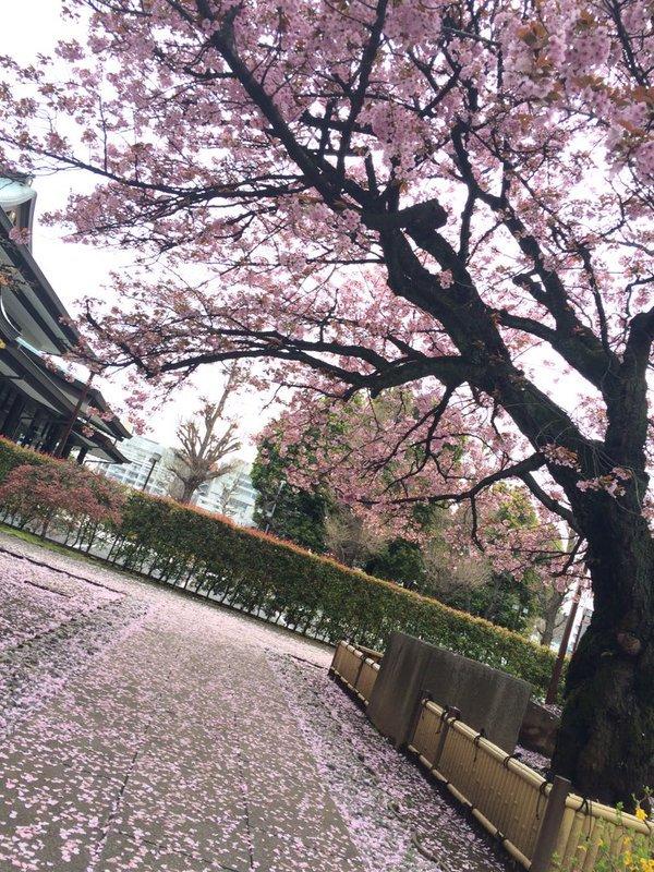 Cherry Blossom Season In Japan 7